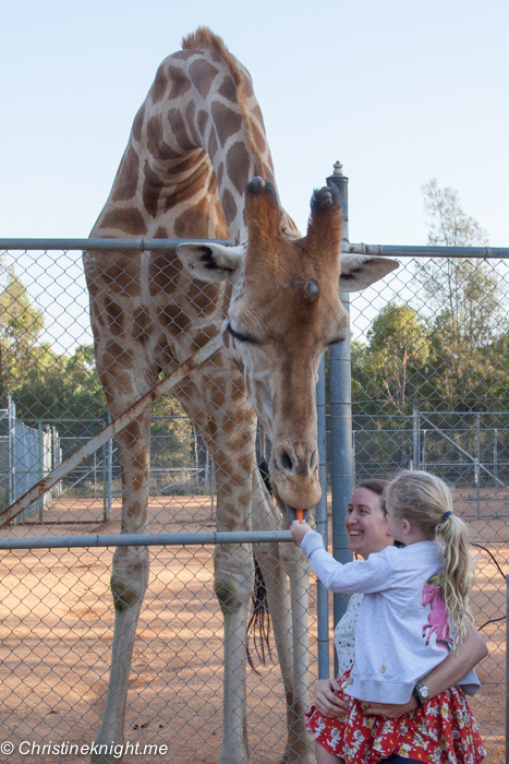 Giraffe feeding at Taronga Western Plains Zoo, Dubbo, Australia