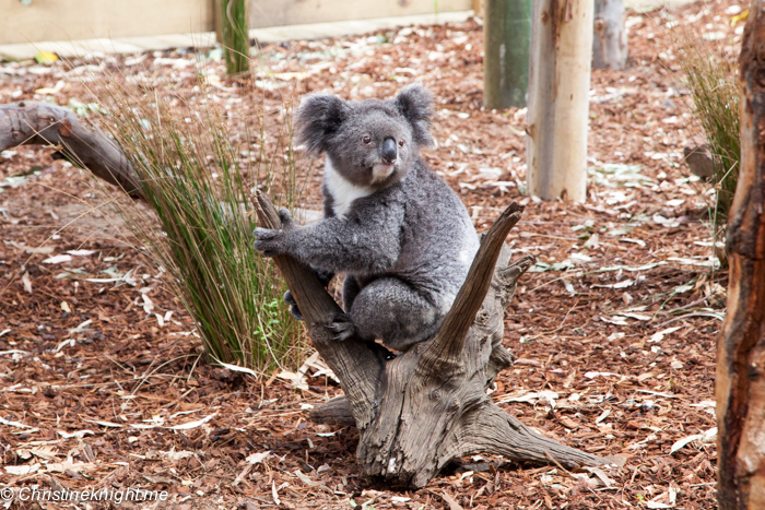 The Best Place To Meet A Koala in Sydney