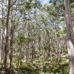 A Drive Through The Boranup Karri Forest, Western Australia