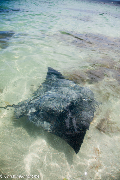 Meet The Hamelin Bay Stingrays Western Australia