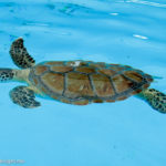 Marathon Turtle Hospital, Florida Keys, USA