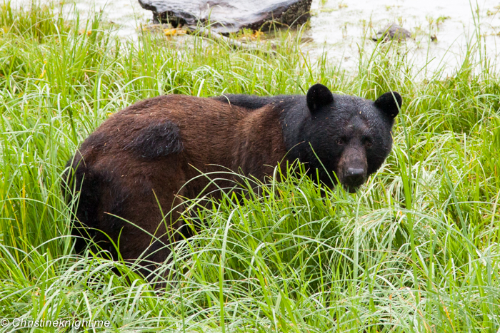 A Disney Cruise Port Adventure: Bear Watching at Neets Bay, Ketchikan Alaska