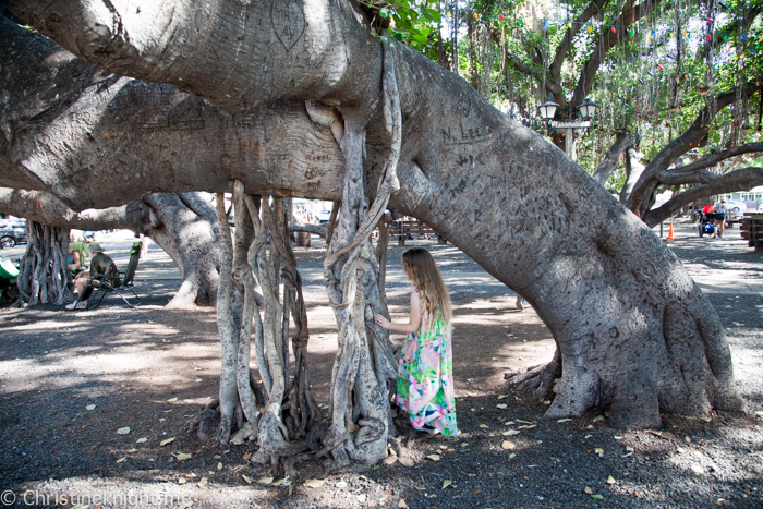 Lahaina Banyan Tree, Maui, Hawaii