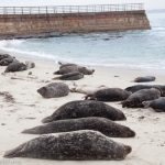Meet the La Jolla seals at Children's Pool, Casa Beach
