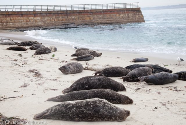 La Jolla Seals at Childrens Beach, Casa Beach, California