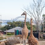 The African Savannah Precinct Opens at Taronga Zoo, Sydney