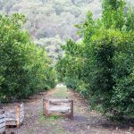 Mandarin Picking at Watkins Family Farm Wisemans Ferry